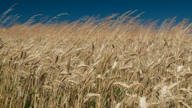 Obchodování pšenice na burze
