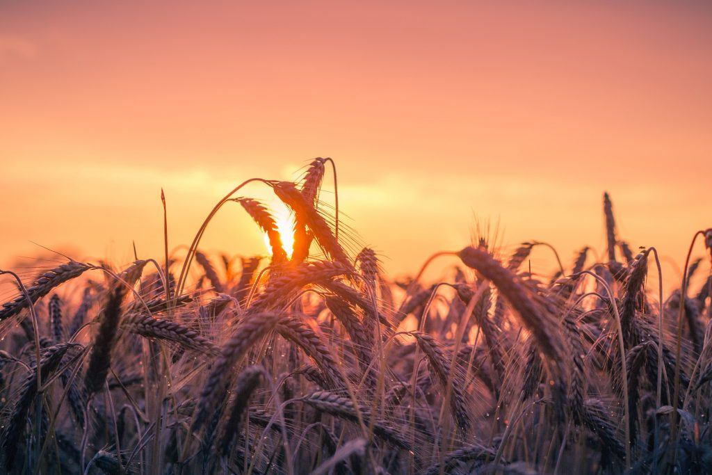 Pšenice - futures kontrakty